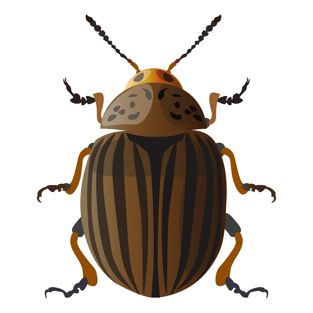 types of pest glossary - carpet beetle