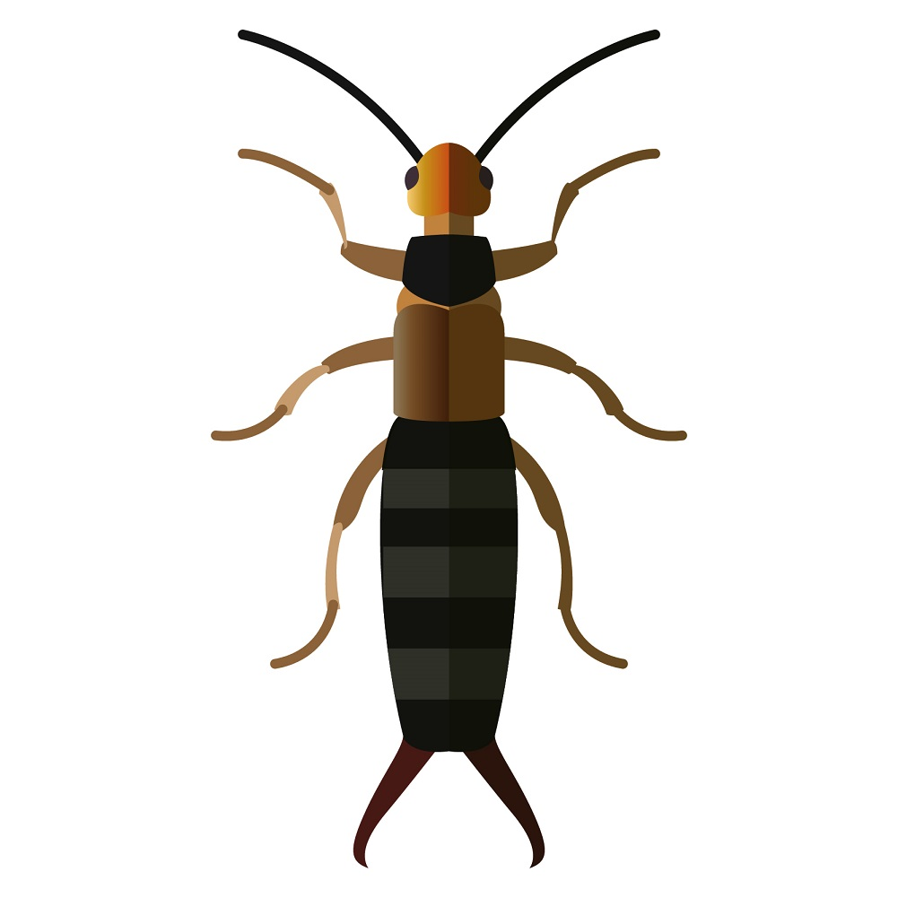 types of pest glossary - earwig