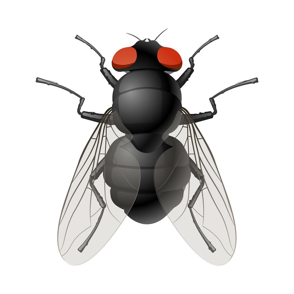 types of pest glossary - fly